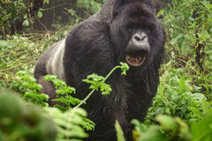 Silverback mountain gorilla in the misty forest opening mouth Royalty Free Stock Image
