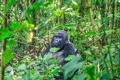 Silverback Mountain gorilla sitting in leaves. Royalty Free Stock Image