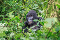 Silverback Mountain gorilla sitting in leaves. Royalty Free Stock Photography