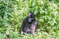 Silverback Mountain gorilla sitting in the Virunga National Park. Silverback Mountain gorilla sitting in the Virunga National Park, Democratic Republic Of Congo Stock Photos