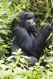 Silverback Mountain Gorilla Royalty Free Stock Photography