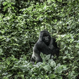 Silverback  mountain gorilla in the Virunga National Park. DRC, Central Africa Stock Image