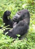 Silverback niżowy goryla łasowania lunch w Przeciwie zdjęcia stock