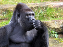 Silverback Stock Photography