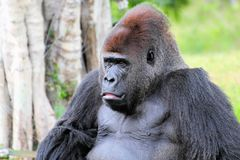 Silverback portrait Royalty Free Stock Images