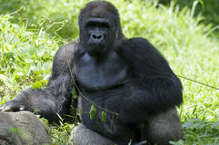 Silverback sitting posing Royalty Free Stock Images