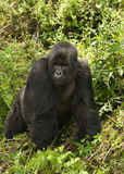 Silverback of Sousa Group. Virunga Mountains (Parc National Volcans), Rwanda Stock Images