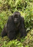 Silverback of Sousa Group. Virunga Mountains (Parc National Volcans), Rwanda Royalty Free Stock Photos