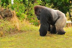 Silverback Tiefland-Gorilla Lizenzfreie Stockfotografie