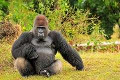 Silverback Tiefland-Gorilla-Sitzen Stockfotos