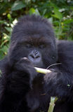 Silverback, Volcano National Park, Rwanda. This is Kurira, the alpha male and silverback of the Susa Group on the slopes of Karisimbi Volcano in Volcano National Stock Photo