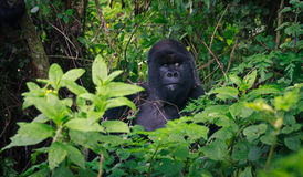 Silverback watching around Royalty Free Stock Image