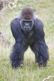 Silverback Western Lowland Gorilla Royalty Free Stock Photos