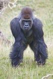 Silverback Western Lowland Gorilla Royalty Free Stock Photos