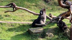 Silverback between young gorillas stock video