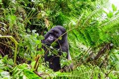 Silverbackberggorilla im Regenwald Stockbilder