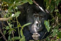 Silverbackgorilla i busken arkivbild