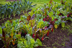 Silverbeet и permaculture фермы брокколи Стоковые Изображения RF