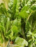 Silverbeet organique d'épinards de vert de potager Photos stock