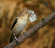 Silverbill africain Photo stock
