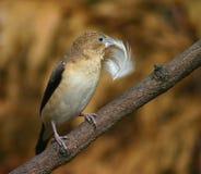Silverbill africano Foto de Stock