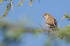 Silverbill fågel Royaltyfria Foton