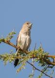 Silverbill fågel Royaltyfri Foto