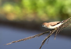 Silverbill lonchura malabarica in a twig Royalty Free Stock Photo