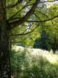 Silverbjörk Sommar i Lettland 2015 Arkivfoto