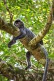 Silvered leaf langur monkey in Bako National Park, Stock Photos