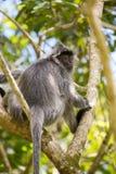 Silvered leaf langur monkey in Bako National Park. Borneo, Malaysia Royalty Free Stock Image