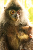 Silvered leaf monkey with a baby, Borneo Stock Photography