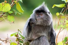 Silvered leaf monkey Stock Image