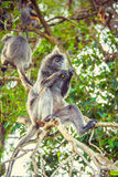 Silvered leaf monkey. Family of silvery langurs. Malaysia stock photos