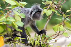 Silvered leaf monkey. Looking for figs on the tree, Bako National Park, Malaysia, Borneo Stock Images
