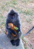 Silvered Leaf Monkey Royalty Free Stock Photos