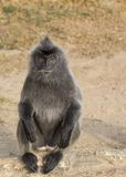 Silvered Leaf Monkey Royalty Free Stock Image