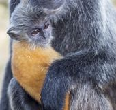 Silvered Leaf Monkey Stock Photo