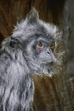 Silvered Leaf Monkey Royalty Free Stock Image