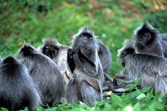 Silvered Leaf Monkey, Presbytis Cristata, Kuala Selangor Stock Image