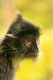 Silvered leaf monkey, Sepilok, Borneo, Malaysia Royalty Free Stock Images