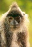 Silvered leaf monkey, Sepilok, Borneo, Malaysia Royalty Free Stock Photo