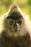 Silvered leaf monkey, Sepilok, Borneo, Malaysia Royalty Free Stock Photo