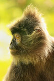 Silvered leaf monkey, Sepilok, Borneo, Malaysia Stock Photos
