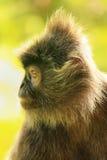 Silvered leaf monkey, Sepilok, Borneo, Malaysia Stock Photos