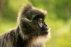 Silvered leaf monkey, Sepilok, Borneo, Malaysia Stock Image