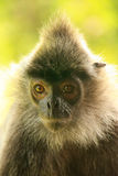 Silvered leaf monkey, Sepilok, Borneo, Malaysia Royalty Free Stock Images