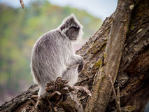 Silvered Leaf Monkey Trachypithecus cristatus. Bako National Park, Borneo, Malaysia stock images