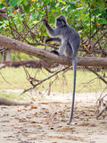 Silvered Leaf Monkey Trachypithecus cristatus. Bako National Park, Borneo, Malaysia stock image
