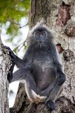 Silvered leaf monkey Trachypithecus cristatus or Silvery lutung silver leaf monkey siiting on the tree silvery royalty free stock photo